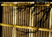 Tree Shadow on a Tin Fence