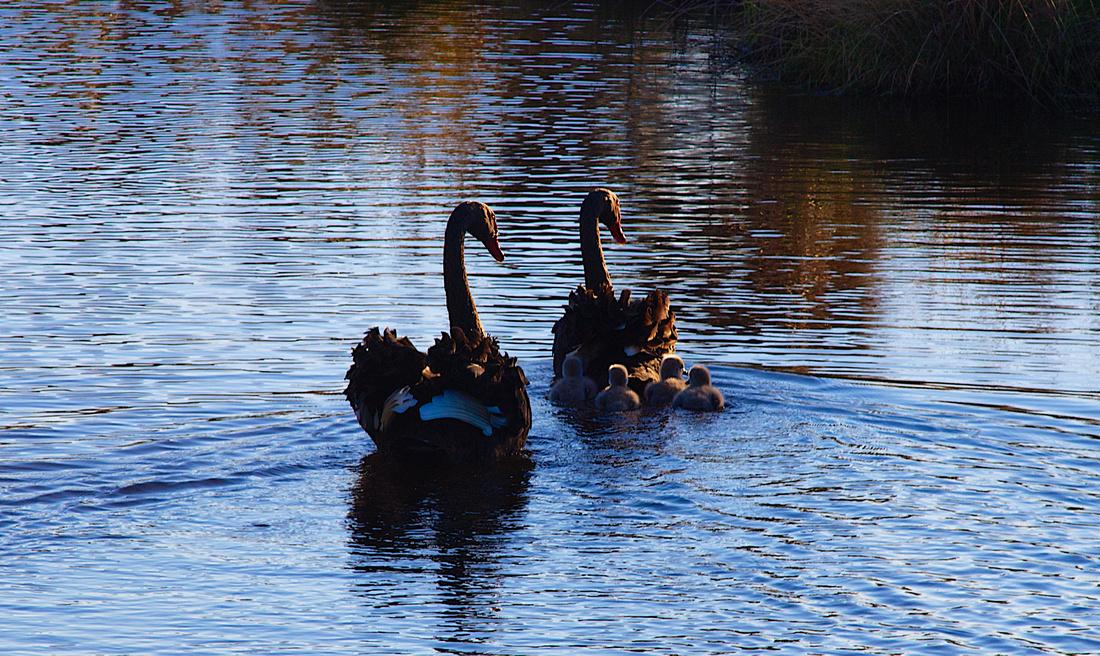Swan and Cygnets, Saltwater Creek Wetlands, Timaru. Pentax M 200mm lens